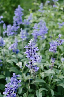Фиолетовый цветок в саду