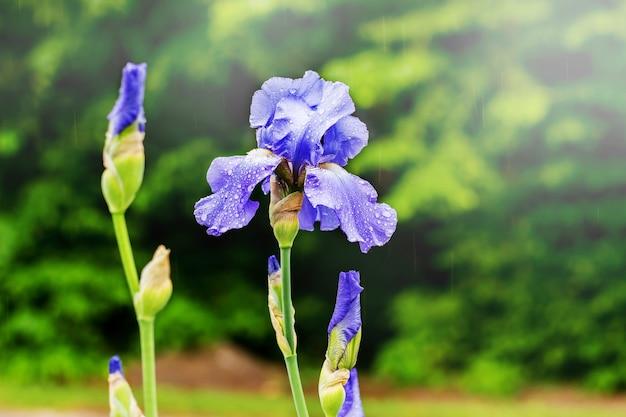 紫の花のアイリス。装飾的な春の花_