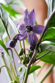 실내 뜨거운 쓴 고추 클로즈업 매크로 사진의 보라색 꽃