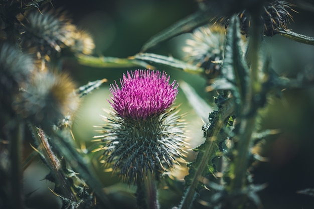 Purple flower of a thistle in a garden