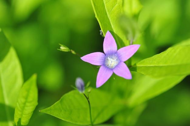 Фиолетовый цветок с пятью лепестками в форме звезды