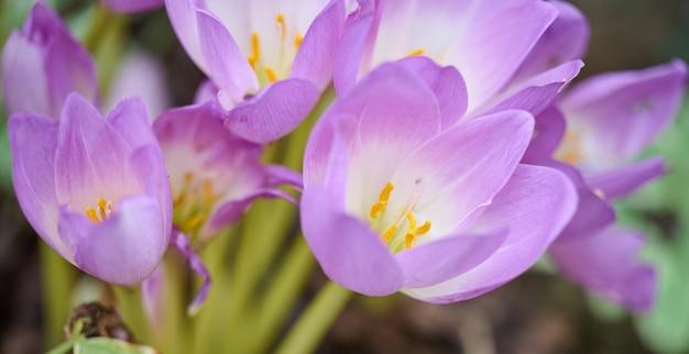 Purple flowering crocus, close up