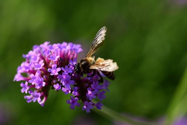 보라색 꽃과 꿀벌