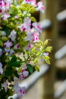보라색 꽃, asystasia gangetica 꽃