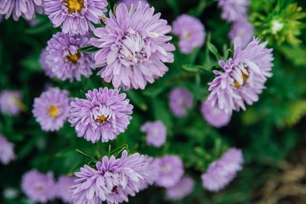 紫色の花のクローズアップ。庭の菊。美しい秋の花。自然な背景と質感。