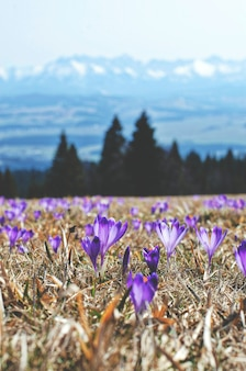 Purple flowers in a field on montains