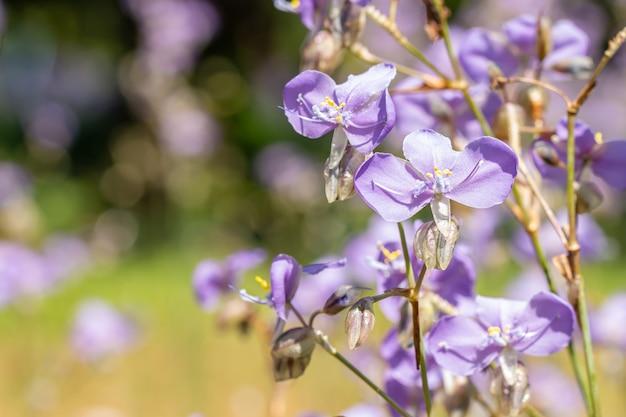 보라색 꽃밭, murdannia giganteum(vahl.) br., 밝은 햇빛, 부드러운 흐릿한 스타일, 선택적 초점 포인트는 배경으로 사용됩니다.