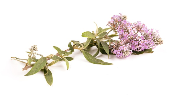 Фиолетовые цветы от буддлеи (куст бабочки) изолированы