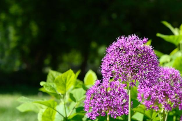 庭の紫色の花の巨大なタマネギalliumgiganteum