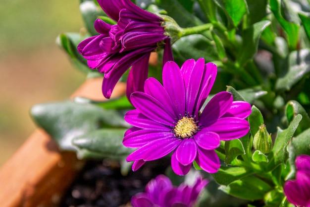 냄비에 보라색 꽃