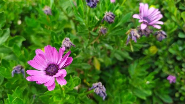 野生の自然の中で紫色の花。紫紫の菊の芽のイメージ。