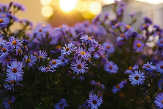 Purple flowers in nature with a sunset background.