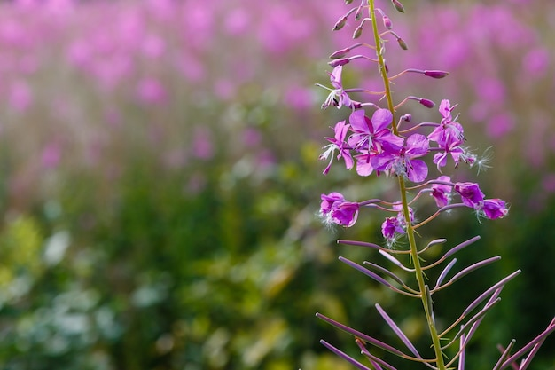 Фиолетовые цветы кипрея в саду