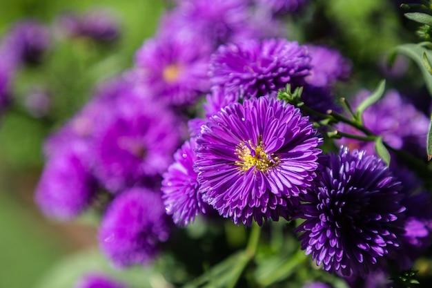 イタリアのアスターの紫色の花、ミカエルマスデイジー(イタリアのスターワート、秋のアスター、紫の花)
