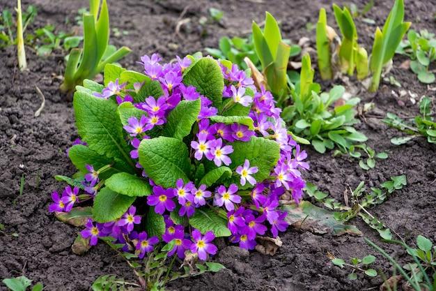 Фиолетовые цветы примулы на клумбе