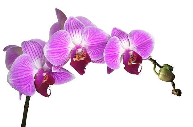 白い背景に分離された紫色の花蘭