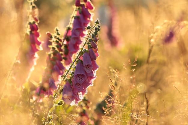 紫のキツネノテブクロ-日の出中のジギタリスプルプレア