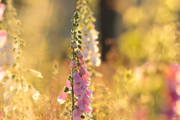 일출 동안 보라색 디기탈리스 digitalis purpurea