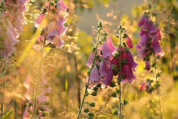 Фиолетовая наперстянка наперстянка пурпурная во время восхода солнца