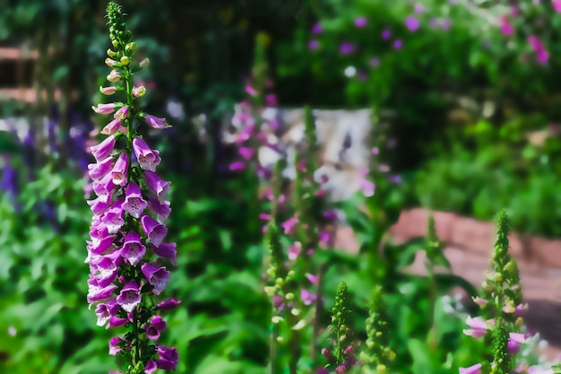 庭の紫色のジギタリスの花
