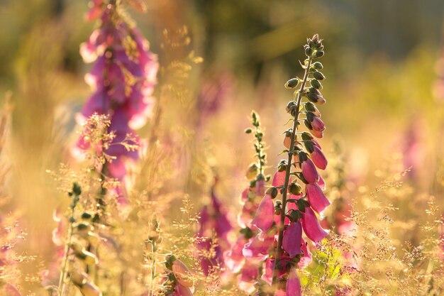 夜明けの森の紫色のキツネノテブクロ