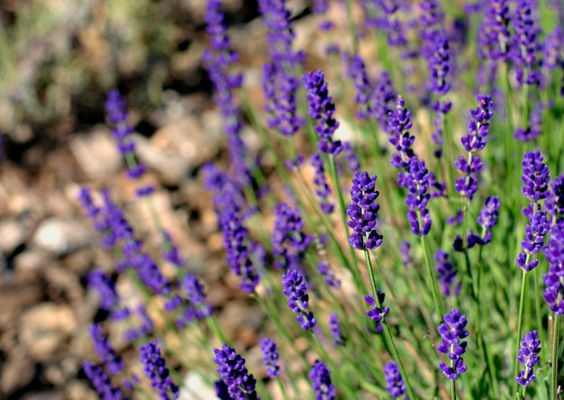 Purple, fragrant and blooming buds of lavender flowers on a sunny day.