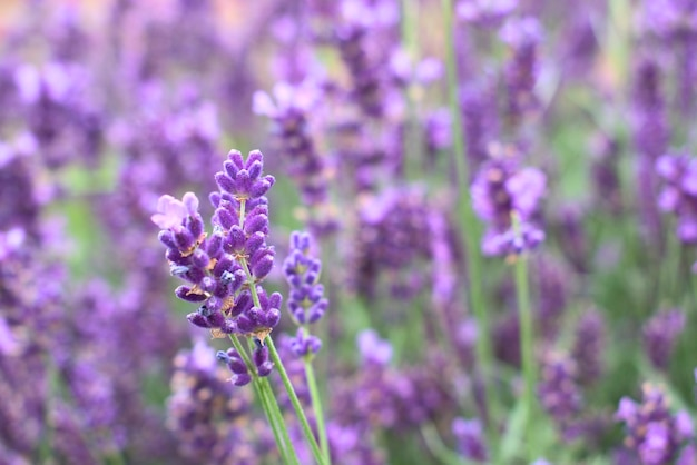 Purple,fragrant and blooming buds of lavender flowers