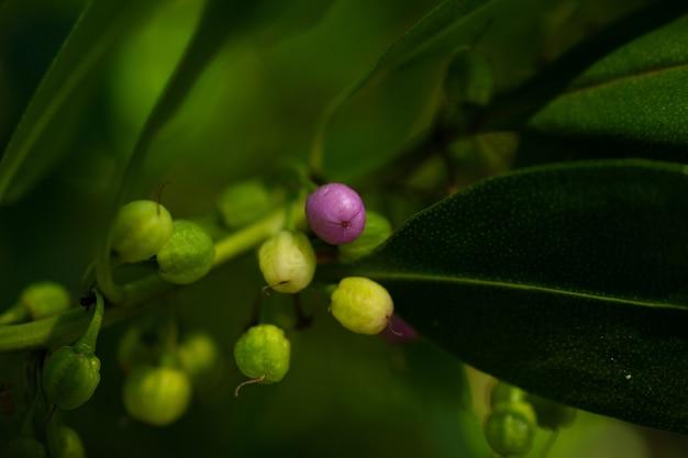 緑の海に囲まれた紫色の果実。枝の上の小さな果物の写真