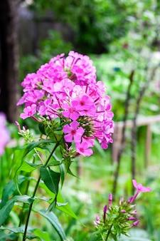 Фиолетовый садовый флокс крупным планом на поверхности зеленой листвы