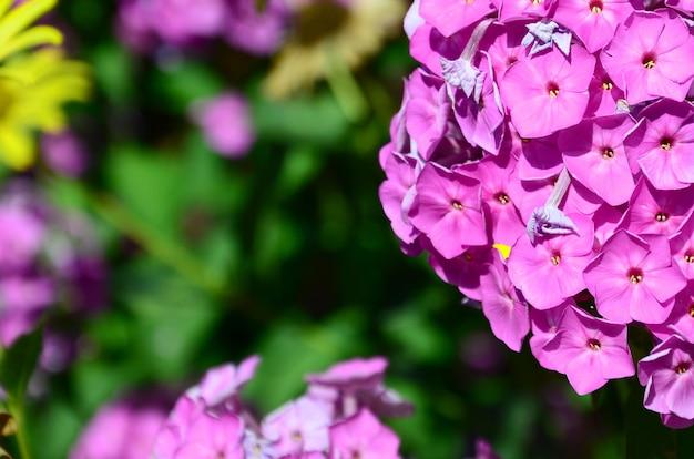 Purple garden phlox paniculata, pink flowers summer background