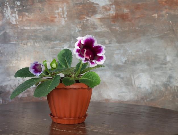 茶色のぼやけた背景に丸い木製のテーブルの上の茶色の鍋に紫色のグロキシニアの花。観葉植物