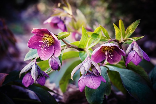 Purple hellebore flower