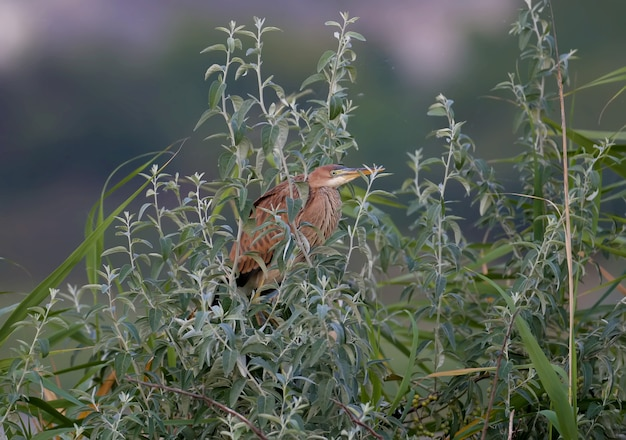 The purple heron (ardea purpurea) is shot in the early morning sitting in the dense branches of a tree in the rays of soft light