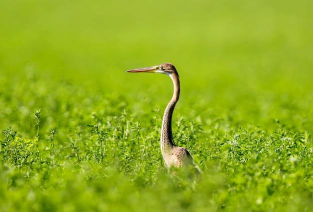 보라색 헤론은 녹색 들판 한가운데 키 큰 잔디에 서 있습니다.