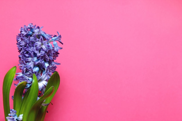 Purple hyacinth blossom with green leaves on pink background with copy space.
