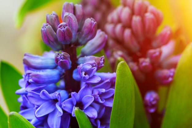 Purple hyacinth flowers in garden close-up