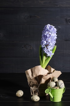 Purple hyacinth and quail eggs in the garden watering canon on a black wooden rustic background
