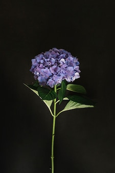 Purple hydrangea flower on black background