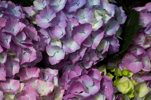 紫のアジサイの花庭のアジサイ、夏の背景