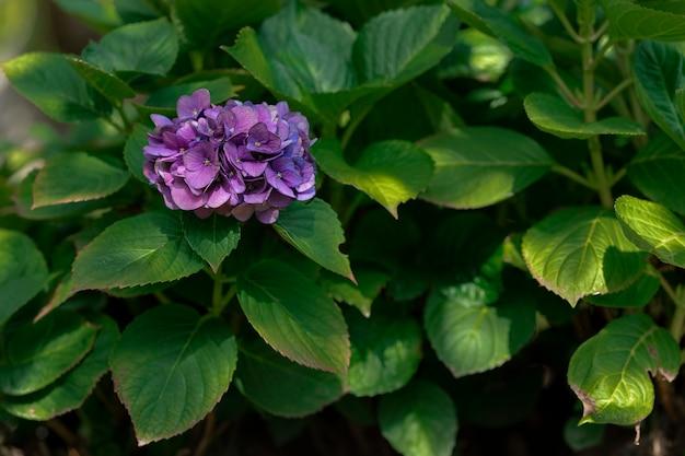 背景に葉を持つ紫色のアジサイの花