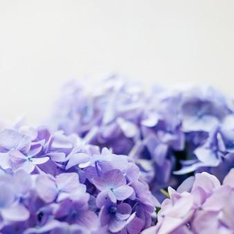 紫のアジサイの花とソルフライト。 webバナー、自然の背景。顕花アジサイ植物。