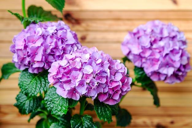 木製のフェンスの背景に紫色のアジサイアジサイmacrophylla紫色のオルテンシア花の茂み