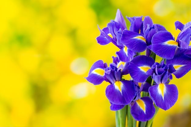 黄色の背景に紫色のアイリスの花。