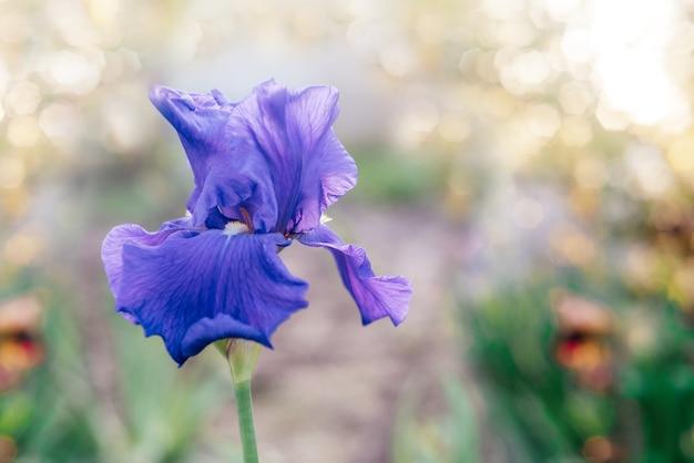 밝은 보케 여름 배경, 여름 꽃과 보라색 아이리스 꽃