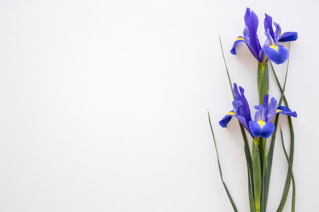 Purple iris flowers on isolated on white background