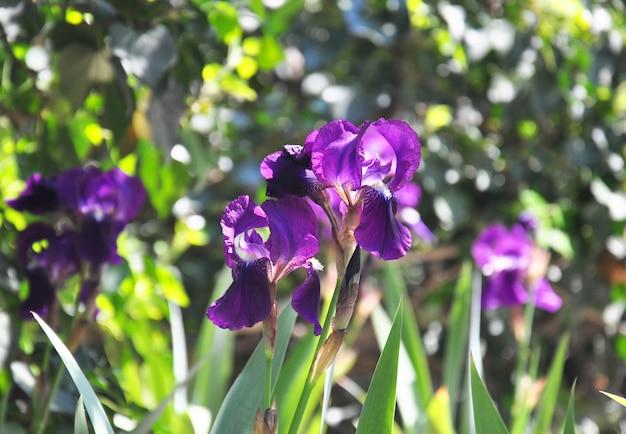 Фиолетовые ирисы в саду в солнечный весенний день