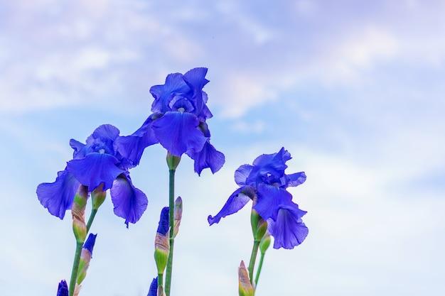 雲と空の背景に紫の菖蒲