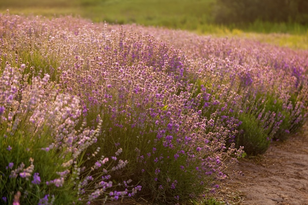 Purple landscape with lavender flowers on a farm, small field with lavender