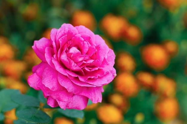 Летом в саду цветет пурпурная крупноцветковая чайная роза