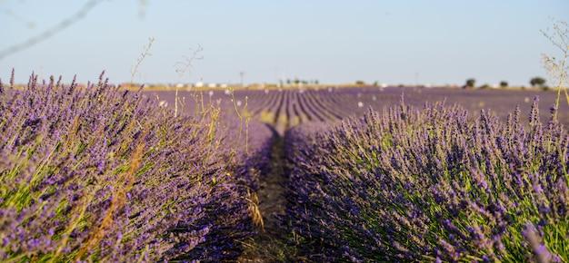 紫のラベンダー畑